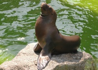 Otaria flavescens - South American Sea Lion