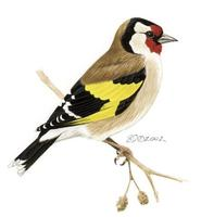 Image of: Carduelis carduelis (European goldfinch)