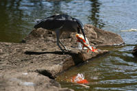 Image of: Nycticorax nycticorax (black-crowned night heron), Cyprinus carpio (common carp)