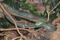 Image of: Dispholidus typus (boomslang)