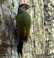 Grey-headed Woodpecker - Picus canus