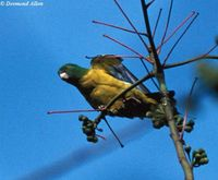 Blue-winged Racquet-tail - Prioniturus verticalis