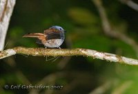 Blue-headed Fantail - Rhipidura cyaniceps