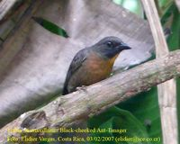 Black-cheeked Ant-Tanager - Habia atrimaxillaris
