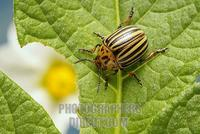 Colorado potato beetle ( Leptinotarsa decemlineata ) stock photo