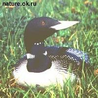 Yellow-billed               loon, Gavia adamsii
