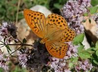 Fritillary, Silver-washed
