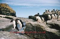 ...FT0130-00: Rockhopper Penguins jump down rocky ledges to return from their nests to the sea. Sub