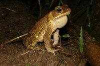 : Bufo valliceps; Gulf Coast Toad