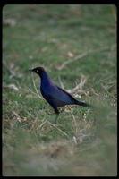 : Lamprotornis purpuropterus; Ruppell's Long-tailed Starling
