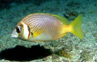 Scolopsis vosmeri, Whitecheek monocle bream: fisheries, gamefish