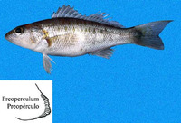 Diplectrum macropoma, Mexican sand perch: