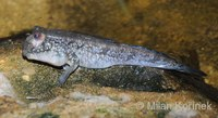 Periophthalmus barbarus - Atlantic Mudskipper