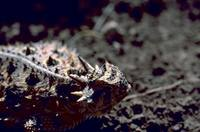 Phrynosoma cornutum - Texas Horned Lizard