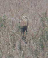Eastern Marsh-Harrier - Circus spilonotus