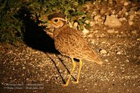 Three-banded Courser - Rhinoptilus cinctus
