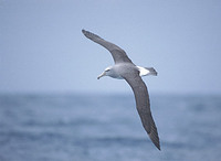 Salvin's Albatross (Thalassarche (cauta) salvini) photo
