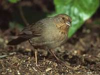California Towhee (Pipilo crissalis) photo