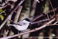 Willow Tit - Poecile montana