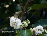Yellow-eared Spiderhunter - Arachnothera chrysogenys