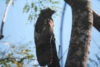 A Northern Potoo at rest during the day,
