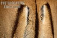 impala tail markings stock photo