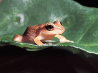 : Eleutherodactylus schwartzi; Virgin Islands Frog