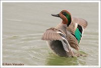 : Anas crecca; Green-winged Teal