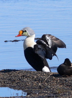 King Eider, Barrow. Photo by Rick Taylor. Copyright Borderland Tours. All rights reserved.