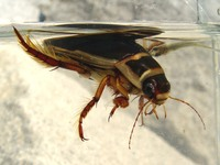 Dytiscus marginalis - Great Diving Beetle