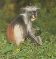photograph of Zanzibar red colobus monkey : Procolobus pennantii kirki