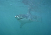 Carcharodon carcharias, Great white shark: fisheries, gamefish