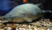 Maccullochella peelii peelii, Murray cod: fisheries, aquaculture, gamefish