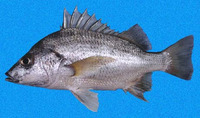 Pomadasys macracanthus, Longspine grunt: fisheries