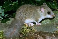 Image of: Glis glis (fat dormouse)