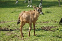 Oryx gazella gazella - South African Oryx