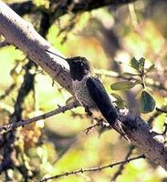 Image of: Archilochus alexandri (black-chinned hummingbird)