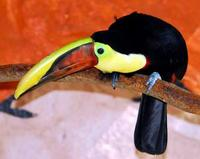 Image of: Ramphastos ambiguus (black-mandibled toucan)