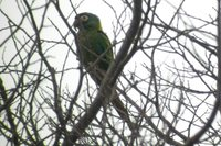 Golden-collared Macaw - Primolius auricollis