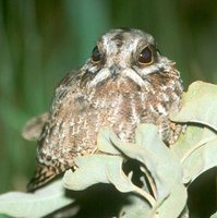 White-winged Nightjar - Caprimulgus candicans