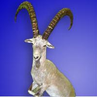 mid asian ibex