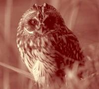 NWT Short-eared Owl Asio flammeus