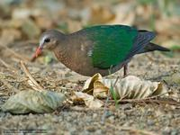 Common Emerald-Dove (male)