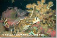 ...Image 07899, Sailfin sculpin., Nautichthys oculofasciatus, Phillip Colla, all rights reserved wo