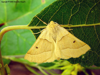 Crocallis elinguaria - Scalloped Oak