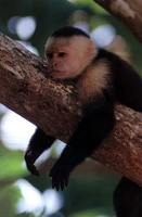 photograph of white-faced capuchin monkey : Cebus capucinus