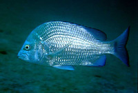 Acanthopagrus berda, Picnic seabream: fisheries, aquaculture, gamefish, aquarium
