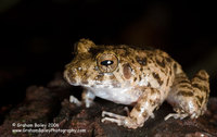 Big-headed Rain Frog - Ischnocnema quixensis
