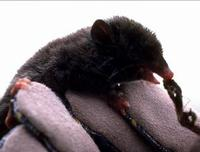Image of: Lestoros inca (Incan shrew opossum)
