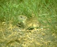 Image of: Spermophilus mexicanus (Mexican ground squirrel)